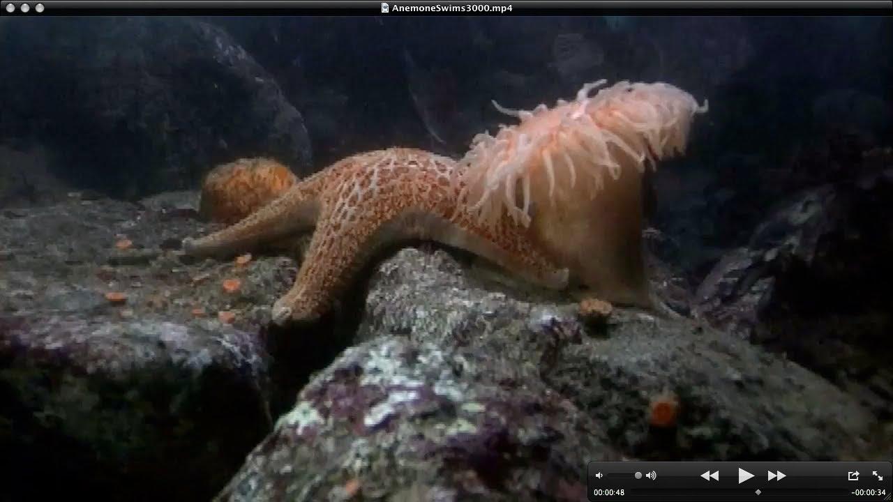 Ananomie Videos the stomphia coccinea sea anemone can swim | the kid should