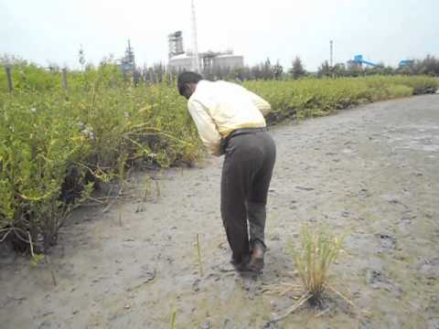 Red Mangroves seedling ,Biosphere, ecology, aalamaramngo, chemical danger zone cuddalore