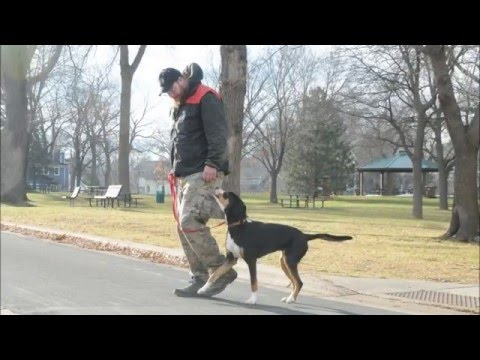 Marlow (Greater Swiss Mountain Dog) Boot Camp Dog Training Video