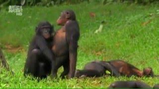 прикольное видео с обезьянами) попробуй откажи