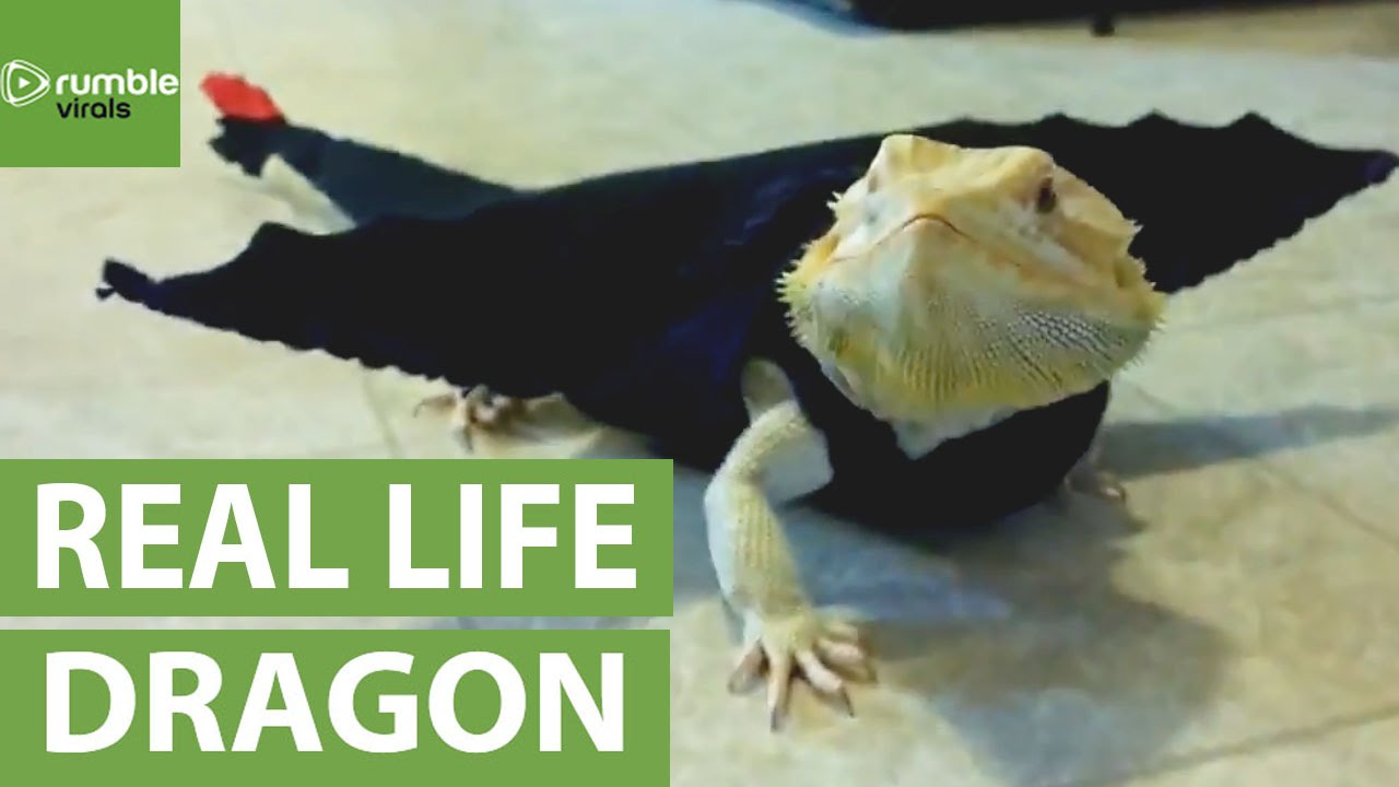 Bearded Dragon models movie-inspired dragon outfit & Bearded Dragon models movie-inspired dragon outfit - YouTube