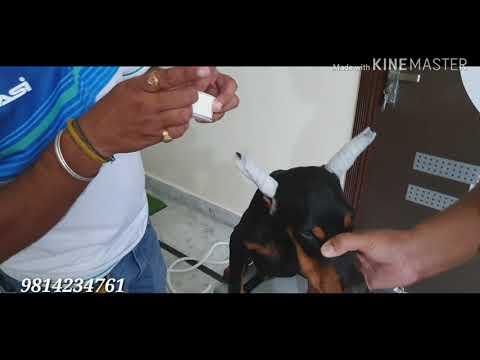 Doberman Ear Posting || Karan Bhatti || SCOOBERS