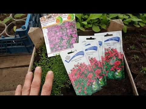 ГВОЗДИКА травянка ПРАВИЛЬНАЯ пикировка. гвоздика выращивание из семян . многолетняя. видео