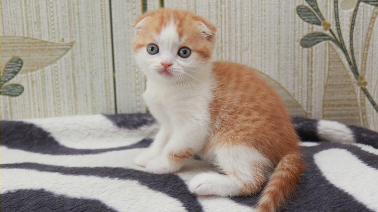 Шотландские вислоухие котята. Как выбрать здорового котенка? - YouTube