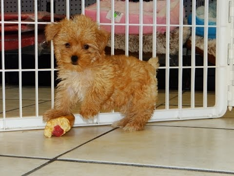 Yorkshire Terrier, Yorkie, Puppies, Dogs, For Sale, In Tucson, Arizona, AZ, 19Breeders, Glendale