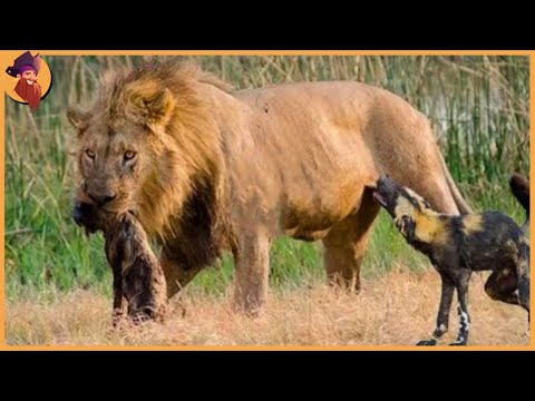 15 Merciless Moments When Male Lions Attack Their Prey