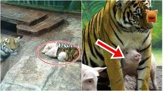 母虎喪子傷心不已,動物園讓小豬穿上「虎皮」結果竟…! thumbnail
