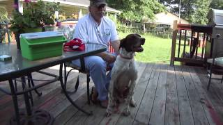 Rescue German Short Haired Pointer