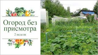 Огород рос без присмотра 2 недели. 2018г июль Кострома