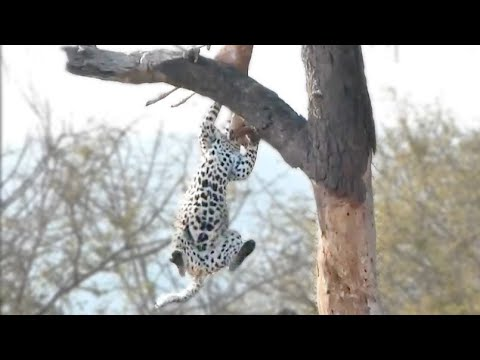 Leopard Doing Some Acrobatics - Latest Wildlife Sightings