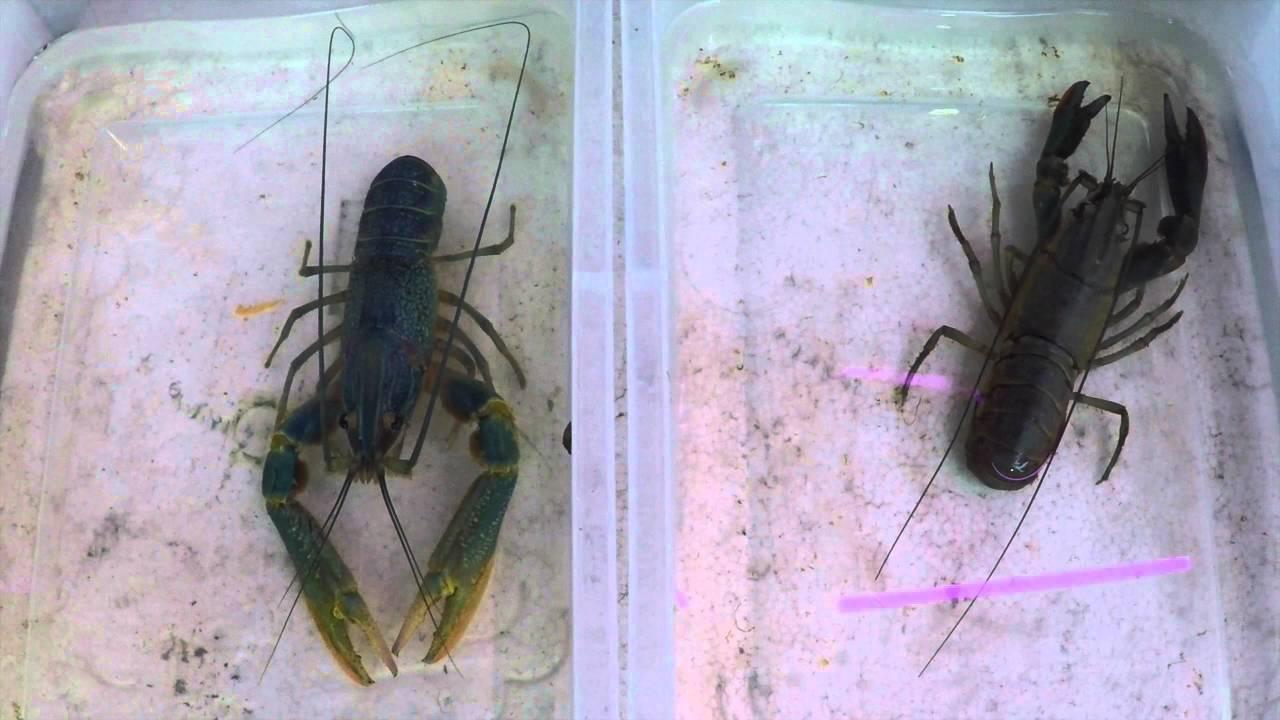 Crayfish Facts | MDC Discover Nature