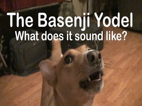 Basenji Yodel