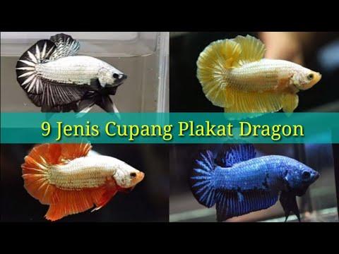 Jenis Ikan Cupang Plakat Dragon Youtube