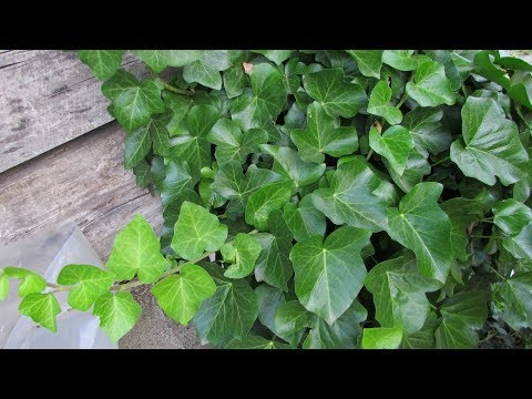 Размножение плюща черенками/Ivy Propagation By Cuttings