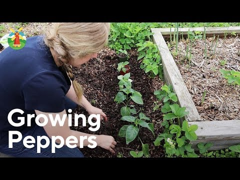 How to Grow Pepper Plants