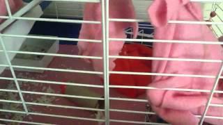 Litter Training Rats