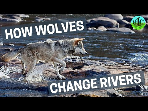 Video: How wolves can alter the course of rivers