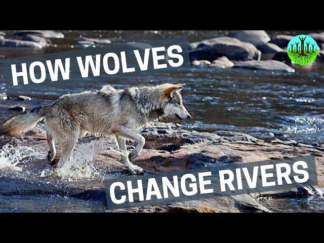 איך זאבים שינו את הנהרות של ילוסטון
