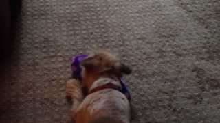 Pug Cairn Terrier Mix Puppy Playing With A Slipper
