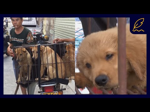Fighting The Yulin Dog Meat Festival | Naturee Stories