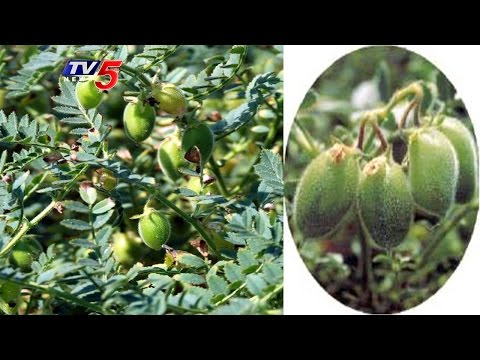 Prakasam Dist Loss to Farmers Due to Fall In Price of Bengal Gram | Annapurna | TV5 News