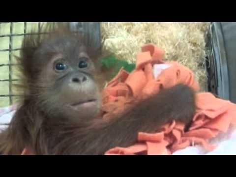 Orphan orangutan who just wants a Mummy: Monkey charity hopes to unite 12-week-old Bulu Mata