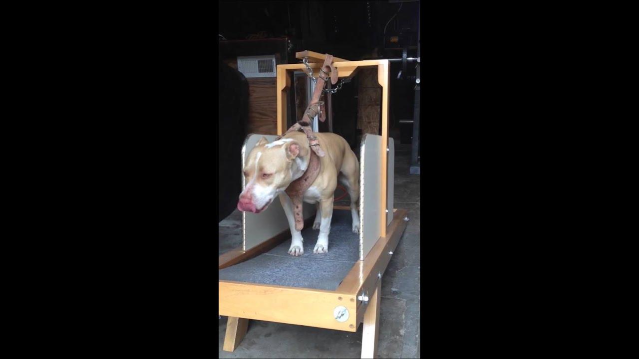 maya the vicious pitbull on the grand carpet mill