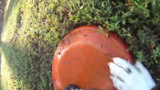Dog Training: Gopro Camera Mounted On Frisbee Dog