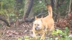 30 lb dog attacks a 600 pound bear