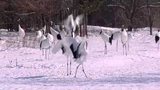 The Dancing Cranes of Hokkaido by HowStuffWorks on YouTube