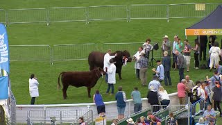 Gwartheg Coch Lincoln   Lincolnshire Red Cattle