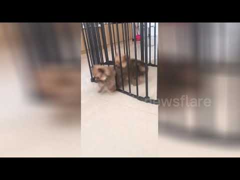 Fluffy Dog Shocks Friend by Escaping from Cage
