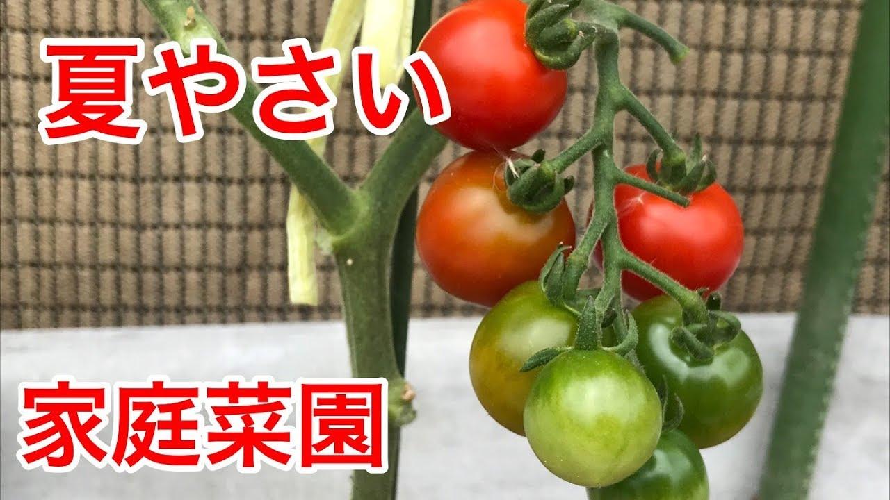 夏やさい 栽培状況 【家庭菜園だより】vegetable