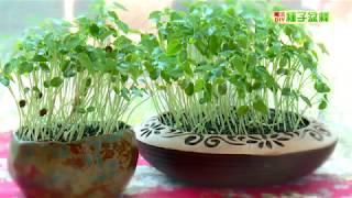 種子盆栽DIY教學 - 木瓜