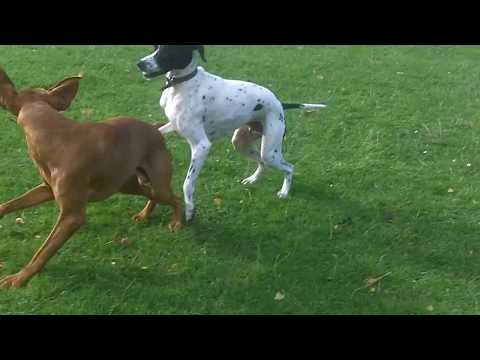 English Pointer Larry legging it with Hungarian Vizsla Archie.