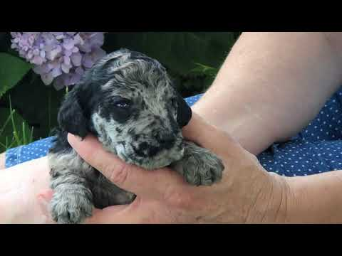 Gypsy's Standard poodle puppies 7-10-19