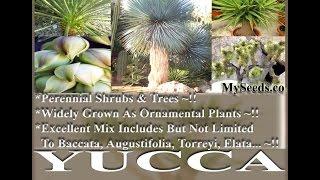 Yucca species mix Seeds on  www.MySeeds.Co