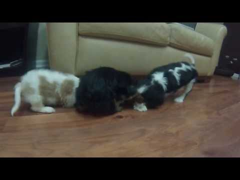 puppies-for-sale-in-michigan-www.greatlakespup.com