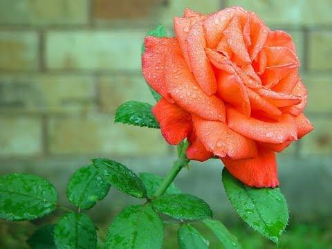 Rose Garden Trends For 2015
