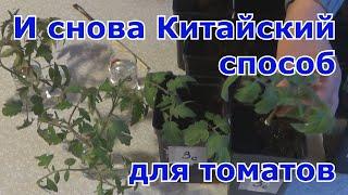 Китайский способ выращивание рассады томатов. Повторный эксперимент.