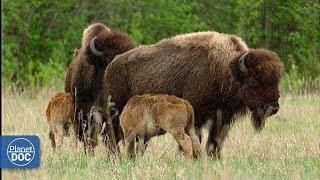 Wild buffalo in Wood Buffalo National Park - Part 4: Wood Buffalo vs plains buffalo