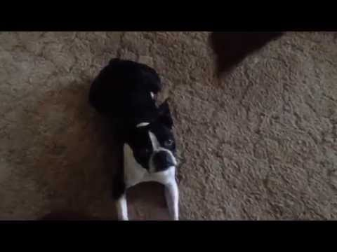 Pair of Boston Terriers demonstrate impressive tricks