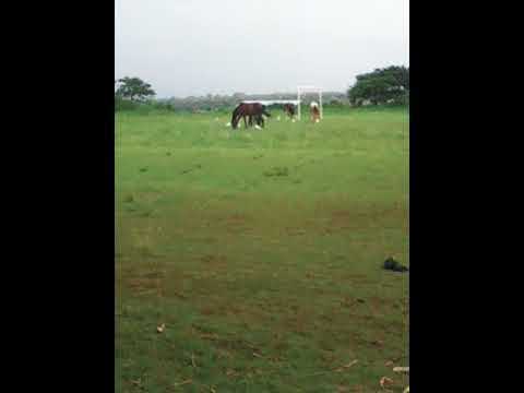 Horse eating grass at Sokoine university of agriculture