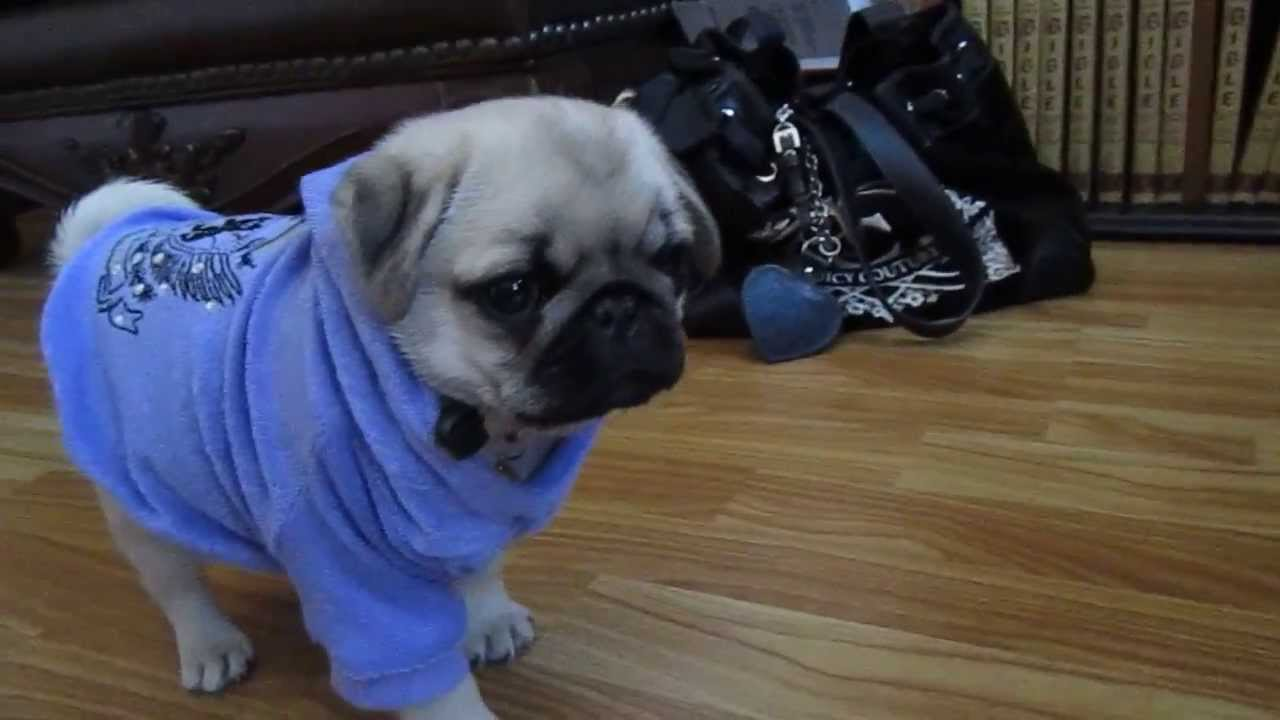 """Silver Sapphire"" cutest pug puppy ever! - YouTube"