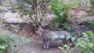 Снежный барс позирует в Казанском зоопарке