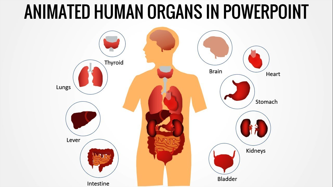 Animated Human Body Organs In Powerpoint  Free Download