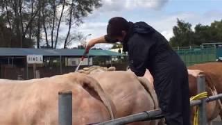 L'installation des vaches au Festival de la viande 2017 en Mayenne