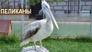 Розовый и кудрявый пеликаны.  Зооферма