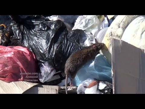 «Целый крысиный город!»: в Уфе полчища крыс атаковали посёлок