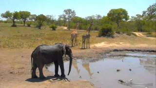 Слон на водопое криком прогнал жираф и зебр Elephant expelled giraffe and zebras at waterhole
